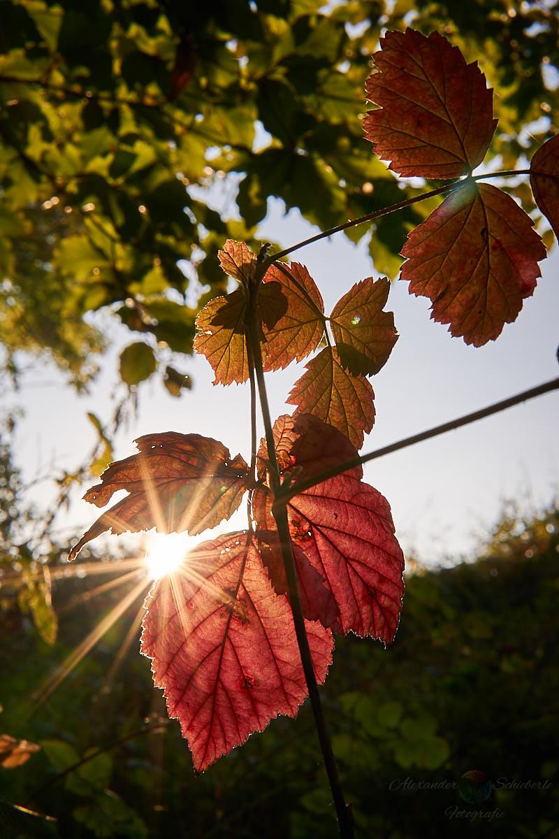 Sonne an einer Blattkante fotografieren