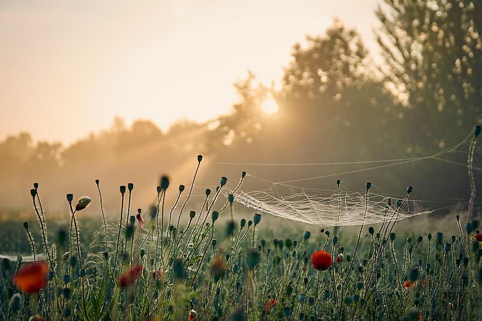 Spinne im Morgenschein